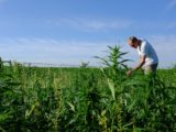 Farmer interest in state hemp program remains steady
